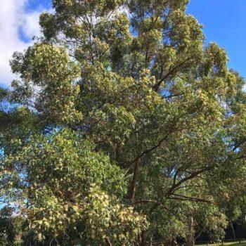 tallowwood tree