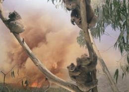 Living with koalas artist Anne Zahalka
