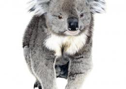 Living with Koalas artist Jodie Quinn