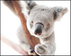 Living with Koalas artsit - Angela Robertson-Buchanan