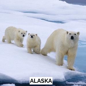 USA 50 - Alaska Polar Bear
