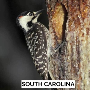 50 USA - South Carolina - Red-cockaded Woodpecker