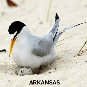 50 USA Arkansas - Least Tern